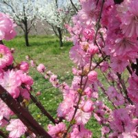 Prunus triloba ❛Multiplex❜