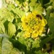 野-菜の花