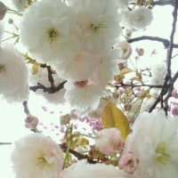 すでに八重桜
