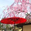 SAKURAと桜に会いに…