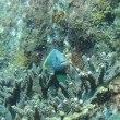 深島のゴンベ
