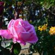 11月の薔薇② 夢父写真はVoigtlander NOKTON 58mm F1.4で  ~前橋ばら園~