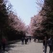 優しい時間・・・北海道神宮の桜