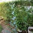 アレンジメント花材を育てる~グニユーカリ