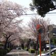碑文谷~サレジオ教会の桜 2018