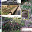 【趣味の園芸】 チューリップが咲いた。4月12日までの様子。 (裏庭のチューリップを追加。)