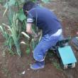 大ニンニクを収穫。
