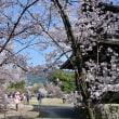 シーズンは終わったが、桜  京都市山科区 勧修寺・・・いつもながら見事な桜たち