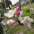 リンゴの花が咲きました。