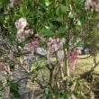 あせび  (馬酔木)が咲いている。