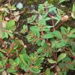 茎の赤と葉の緑を錦に例えて、ニシキソウだそうです