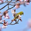「桜に遊ぶ」 いわき 高野花見山にて撮影! 河津桜とメジロ