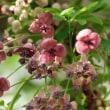 アケビとムベの花