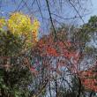 カラコギカエデとベニイタヤ紅葉