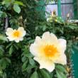 どんつきの庭のバラ再び
