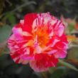北に咲く真夏の薔薇。