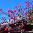 『桜咲く』 寒緋桜