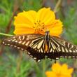 キバナコスモスに集まる蝶