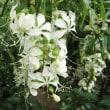 <クラリンドウ> 下垂花序に蝶が舞うような華やかな白花
