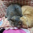 膝の上の猫たち