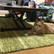 なにか釣れまっか?竿式猫じゃらしで遊ぶ猫だいず【猫日記こむぎ&だいず】2017 11 15
