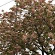 その後の御衣黄桜