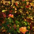 秋バラ その2