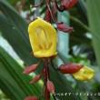 温室の花:ツンベルギア・マイソレンシス(続)