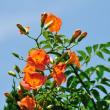 やはりノウゼンカズラは青い空が似合います。 (Photo No.14381)