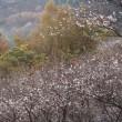四季桜の里
