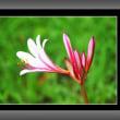 タヌキノカミソリが咲きだした
