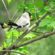 庭で野鳥を