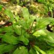 別の鉢のコバギボウシが咲きました