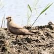 4/20探鳥記録写真(響灘ビオトープの鳥たち:ノビタキ、ツバメチドリ、チュウヒほか)