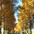 メタセコイヤ並木は大人気