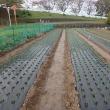タマネギ栽培定植すべて完了