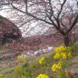 2018☆河津桜お花見旅行☆三分咲き~五分咲き´_`~2/22(木)