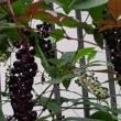 ヨウシュヤマゴボウとカナヘビ