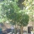 月桂樹と金木犀