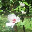 楽書き雑記「ムクゲの花と申し訳ない思い出」