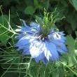 醒ヶ井宿に咲く花