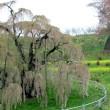 4月18日  三春の滝桜落桜に