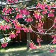 寒緋桜・・1