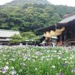 〈津屋崎の四季〉1189:「江戸菖蒲」の花見ごろ