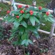 12/10 エリア3にヤマユリとセンリョウを植える