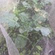 定植後の白菜【4週間経過】