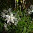 野に咲く夏の可憐な花   カラスウリ開花直前から開花まで