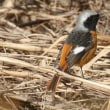 ベニマシコ ジョウビタキ などの野鳥