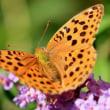 庭にくる蝶のいろいろ