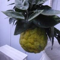 今年は金柑が豊作です。(押上文庫裏庭)